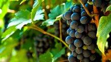 grapes- carol